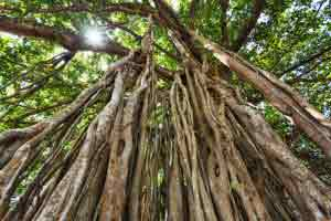Sandalwood trees forest