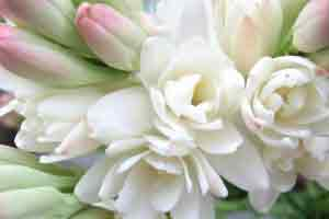 Tuberose perfumes flower Polianthes